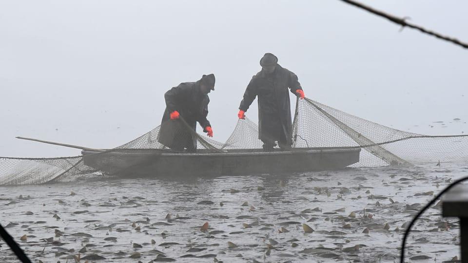 Captura de peces en el estanque Krčín,  foto: Ondřej Tomšů